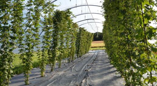 Nå kan du dyrke norsk humle til ølet ditt