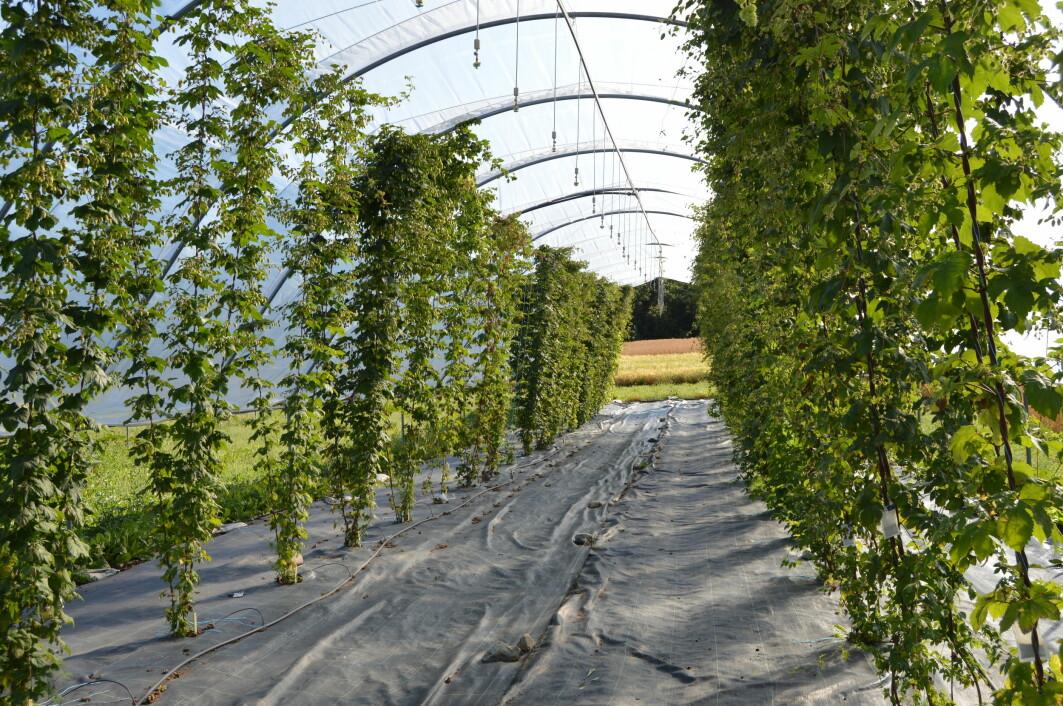 – Vi trenger ny kunnskap og nye erfaringer om hvordan planten humle mest effektivt kan dyrkes i dag, forklarer Mette Thomsen.