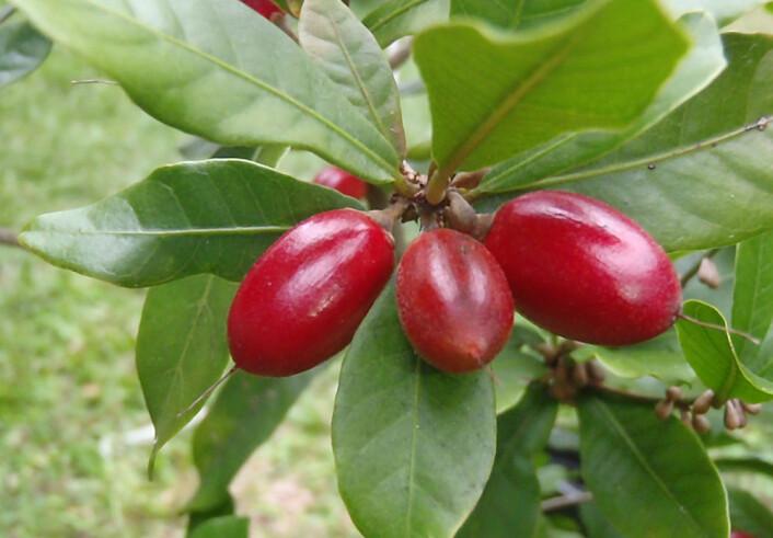 Mirakelfrukt, Synsepalum dulcificum. (Foto: Hamale Lyman/Wikimedia Commons)
