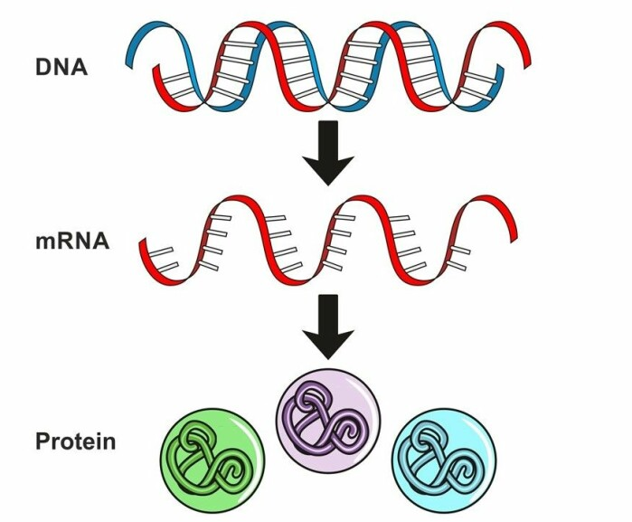 DNA er den genetiske koden vår, litt som en kokebok med masse oppskrifter. For at et gen som er kodet i DNA skal få noe til å skje i kroppen, trengs først en budbringer som gir cellene beskjed om hva som skal lages. Budbringeren heter mRNA og er en kortlevd kopi av DNA. mRNA gir beskjed til cellene om hvilke proteiner som skal lages.