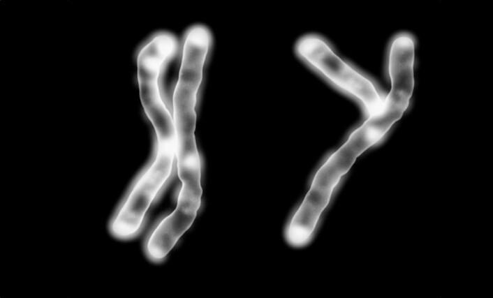 Alle vanlige menneskeceller inneholder 46 parvise kromosomer. 22 kromosompar er identiske hos kvinner og menn. Hos menn er det siste kromosomparet satt sammen av et X-kromosom og et Y-kromosom. Y-kromosomet har i realiteten ikke en så tydelig Y-form som her. (Illustrasjonsfoto: Science Photo Library/NTB Scanpix)
