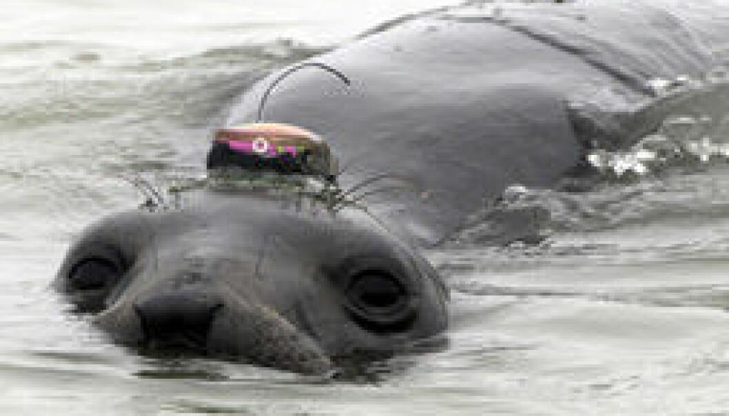 Sjøelefanthunn med sender på hodet. Daniel Costa