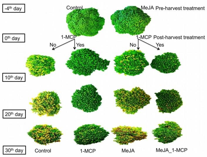 Slik eldes brokkolien med eller uten sprøyting med henholdsvis 1-MCP og MeJA – fra fire dager før til 30 dager etter høsting. (Foto: (Illustrasjon fra artikkelen))