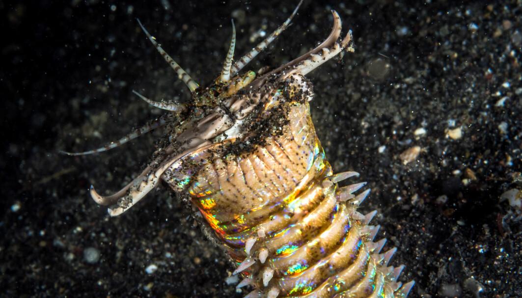 Bobbit-ormen lever på havbunnen i tropiske strøk i dag. Kanskje er det en forfar av denne skumle skapningen som forskere har funnet tunnelene til.