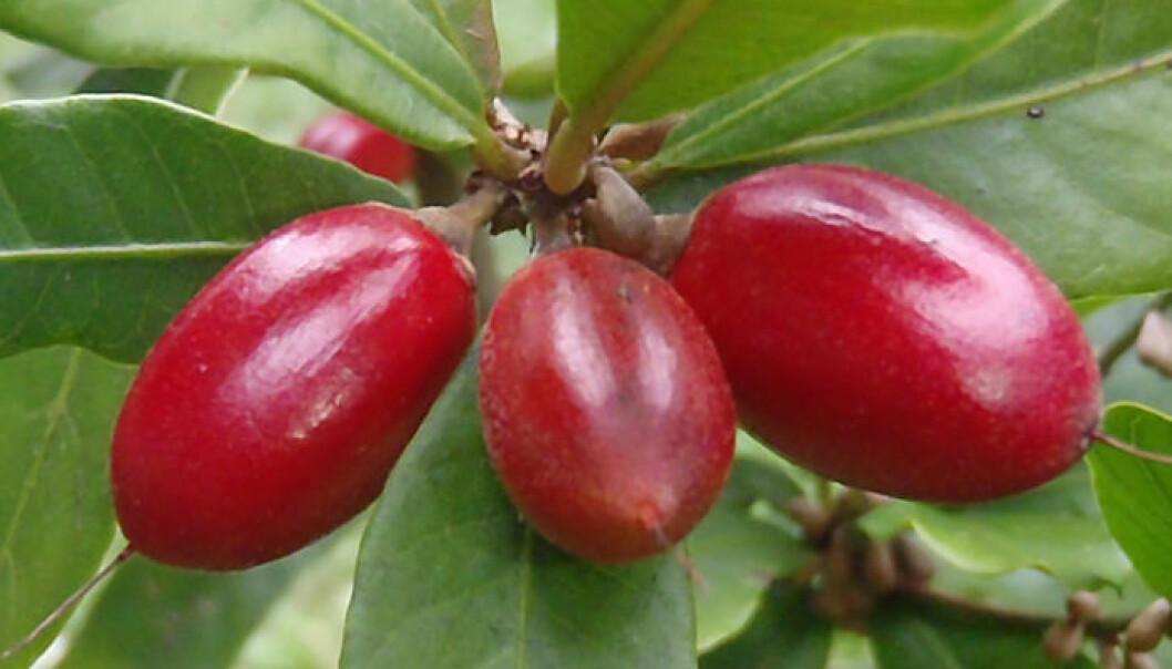 Mirakelfrukt, Synsepalum dulcificum. Hamale Lyman/Wikimedia Commons