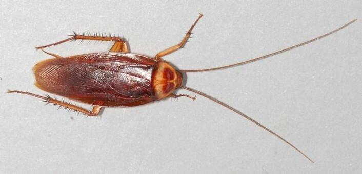 Moderne amerikansk kakerlakk. (Foto: Gary Alpert/ Wikimedia Commons)