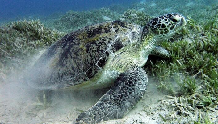 Grønn havskilpadde. Akkurat denne lever i Rødehavet i Egypt.
