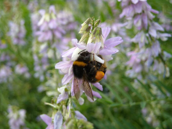Humle-dronning samler pollen. (Foto: Nigel Raine)