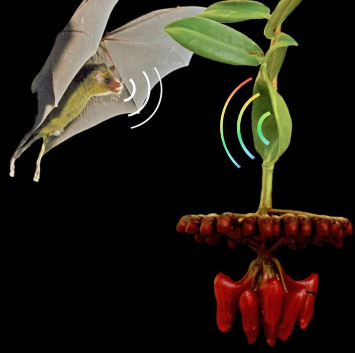Fotomontasje av blomstene hos Marcgravia evenia, et lyd-reflekterende blad og en nektar-spisdende flaggermus. (Foto: Rolf Mangelsdorff/Ralph Simon)