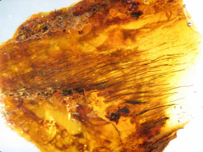 Flere individuelle fjærstråler i rav fra sein kritt. De ligner på protofjær som tidligere er funnet i sammentrykte fossiler av dinosaurer. Pigmentene varierer fra gjennomsiktig til nærmere svart. (Foto: Science/AAAS)