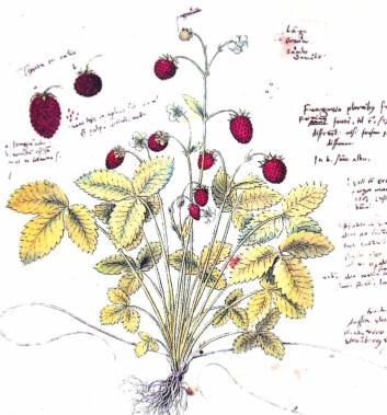 Markjordbær. Tegningen ble antageligvis lagd av Conrad Gesner rundt 1555-1565, men ble ikke publisert før 1750. (Foto: Roland zh/Wikimedia Commons)