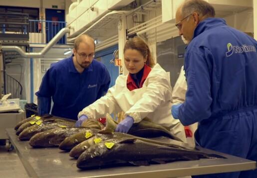 Hvor kaldt skal fisken ha det etter fangst?