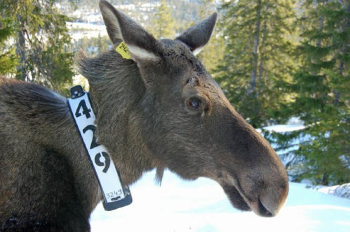 Norsk elg med GPS-sender om halsen. (Foto: Christer M. Rolandsen)
