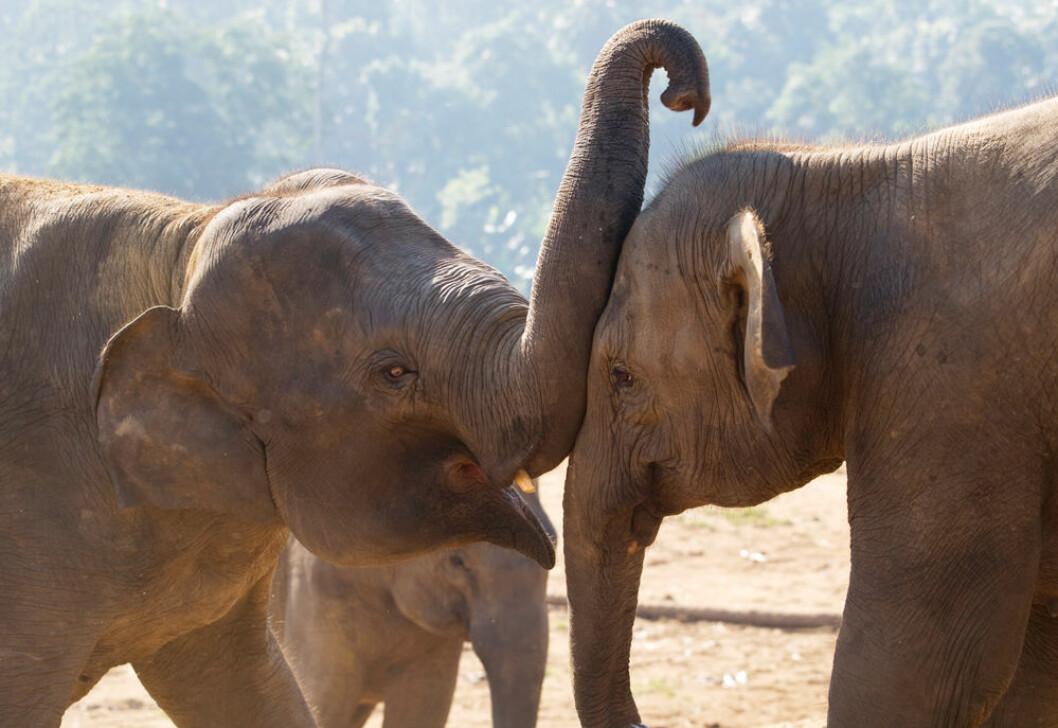 Elefanter bruker snabelen aktivt i sosiale sammenhenger, også på dette bildet som ikke er tatt i forbindelse med studien. Derfor kan det være andre grunner enn trøst til snabelbruken her. (Foto: Shutterstock)