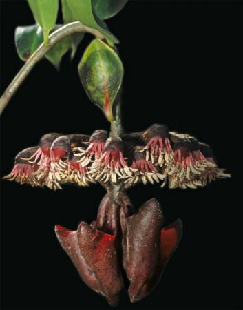 Blomstene hos klatreplanten M. evenia er samlet i en blomsterstand. Over denne er det tallerkenformede bladet som lokker med tydelig ekko. Bladet vokser rett og ned på grunn av måten stilken er utformet på. (Foto: Rolf Mangelsdorff/Ralph Simon)