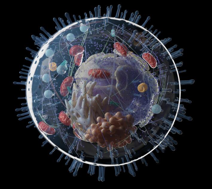 Dette er en modell av en menneskecelle. På innsiden ligger ulike strukturer og organeller. En sterk, fleksibel membran skiller celleinnholdet fra miljøet utenfor cella.