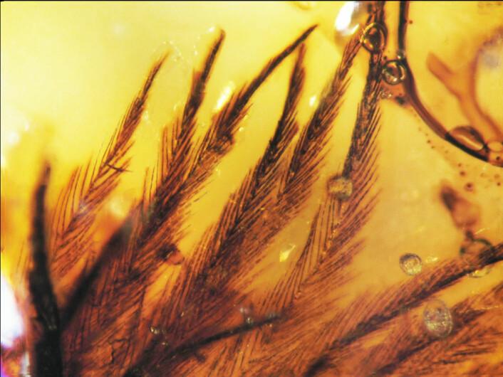 Rav er dannet fra kvae fra trær. Forskerne vet ikke om fjærene stammer fra fugler eller dinosaurer. (Foto: Science/AAAS)