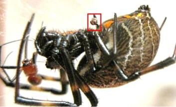 En hunnedderkopp med det avkutta kjønnsorganet til hannen hengende fast under magen. Den brune klumpen rett ved hodet hennes er kjønnsorganets tidligere eier - som nå er halvveis fortært. (Foto: D. Li et al., Biol. Lett.)