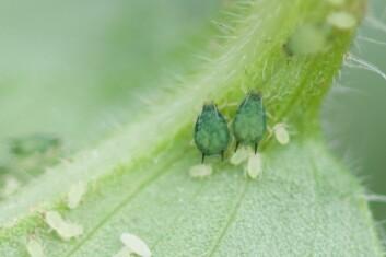 Agurkbladlus (Aphis gossypii) er den vanligste bladlusa på grønnsaker i Benin. Her sees to voksne individer sammen med flere nymfer. (Foto: Arnstein Staverløkk)