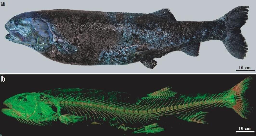 Den nye fiskearten Narcetes shonanmaruae, som ble trukket opp av de dypeste avkrokene i det japanske dyphavet. Den veier vel 25 kilo.