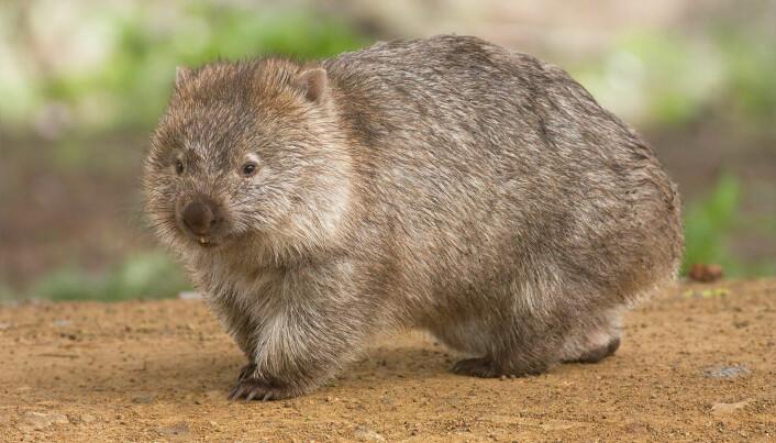 Vombater bor i huleganger. Om kvelden kommer de ut for å spise gress og planter.