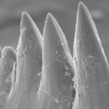 Fossile conodonttenner, sett gjennom ett elektronmikroskop-bilde. Tennene er bare 0,2 millimeter tvers over midten. (Foto: David Jones)