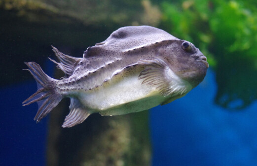 Can cleaner fish used for de-licing in fish farms become dinner?