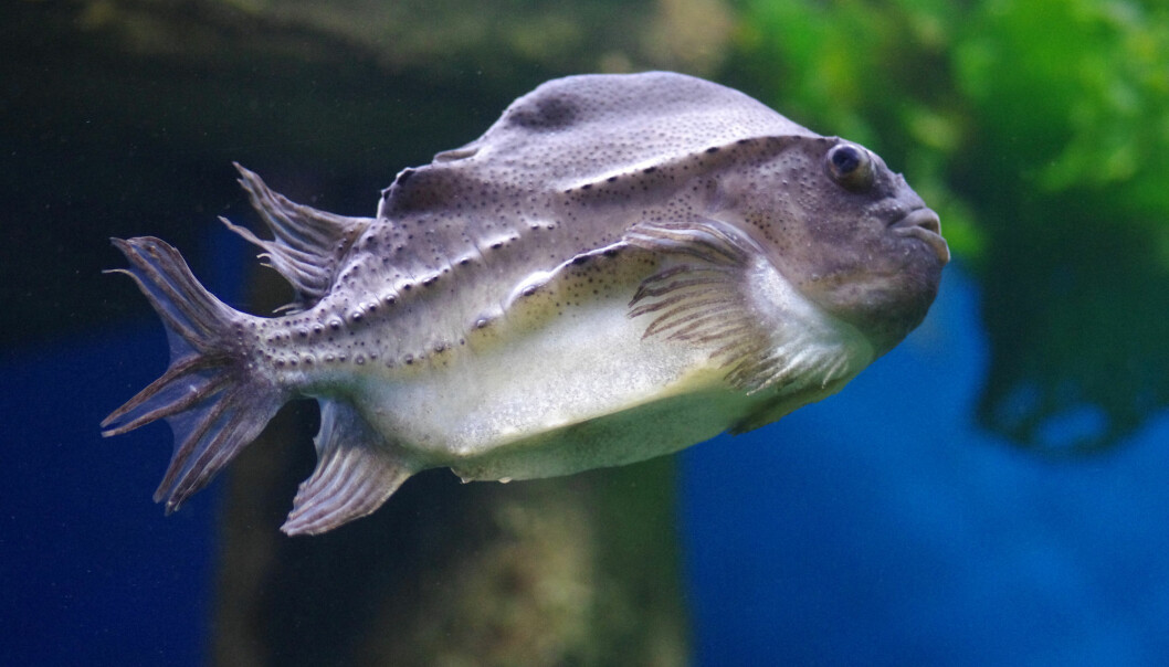 Cleaner fish do not currently have any use when they stop eating lice off farmed salmon, and at best they end up as animal feed after being slaughtered. But what if we humans could have this fish for dinner too?.