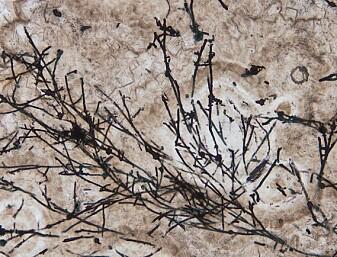 Eldgammel sopp kan ha hjulpet livet på vei etter at jorda var dekket av is