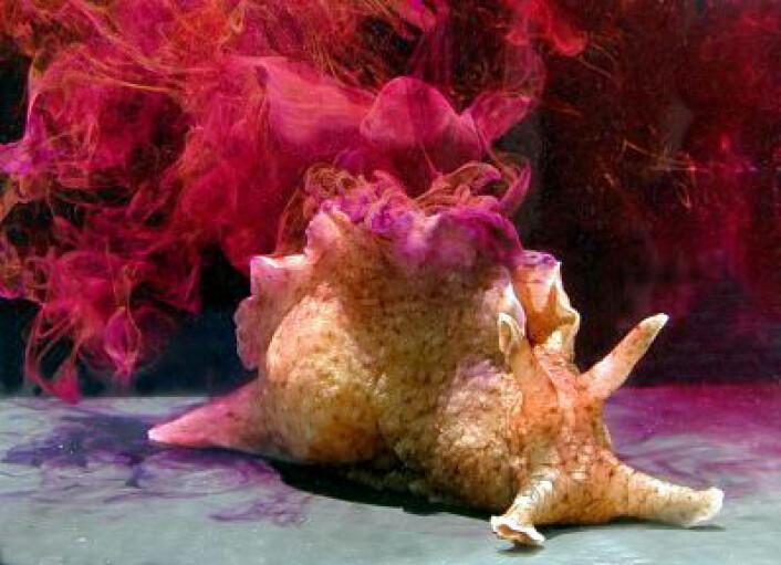 En sjøhare, Aplysia californica, slipper ut blekk som en forsvarsmekanisme. Sjøharene kan også skille ut en klebrig substans kalt opalin. (Foto: Genny Anderson/Wikimedia Commons)