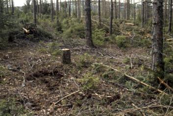 Tynningshogst i bærlyngskog med granforyngelse. Fra Nittedal kommune i Aksershus. (Foto: John Yngvar Larsson/Skog og landskap)