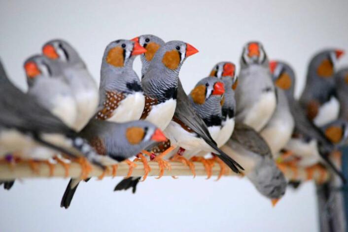 Sebrafink kan lære sang av brødrene sine. (Foto: G. Huet des Aunay)