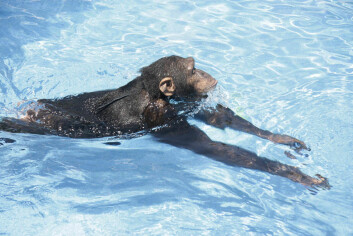 Sjimpansen Cooper, den ene av de to apene i studien. (Foto: Renato Bender)