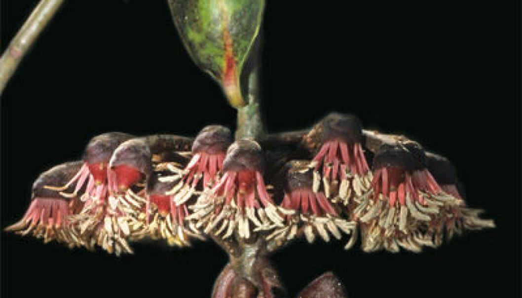 Plante lokker til seg flaggermus med ekko