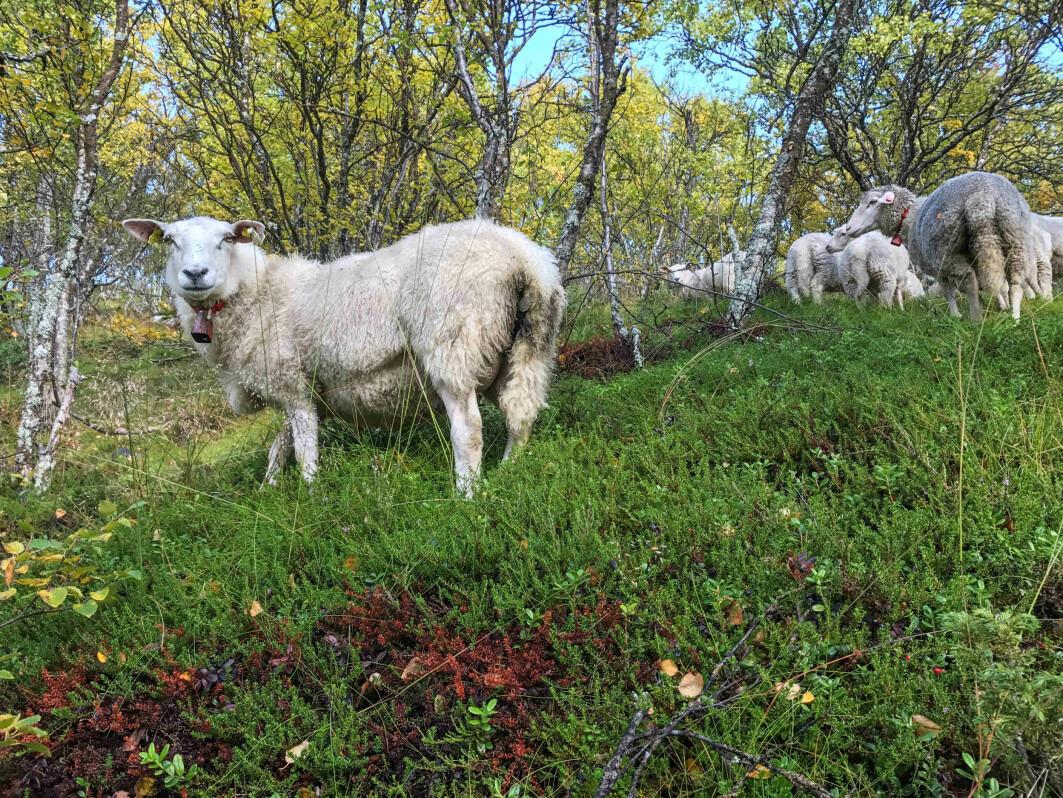 Sauer på utmarksbeite er spesielt utsatte for rovvilt. I 2020 ble over 40 prosent av sauene som ble erstattet som tapt til rovvilt, tatt av jerv.