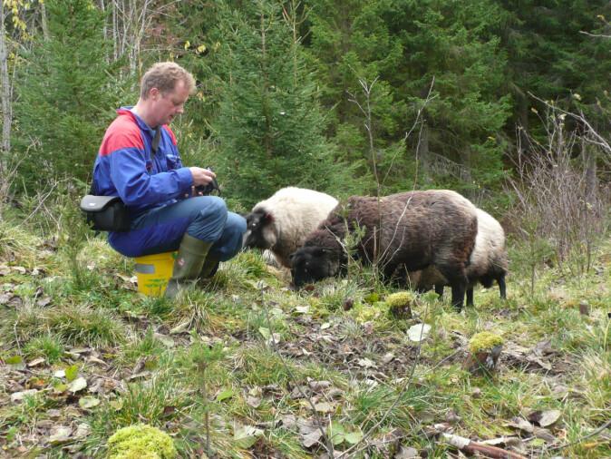 I rovviltutsatte beiteområder har saueholderne ekstra mye tilsyn med dyra sine. Dette er for å kunne være tidlig ute, eller helst i forkant av en skadesituasjon.