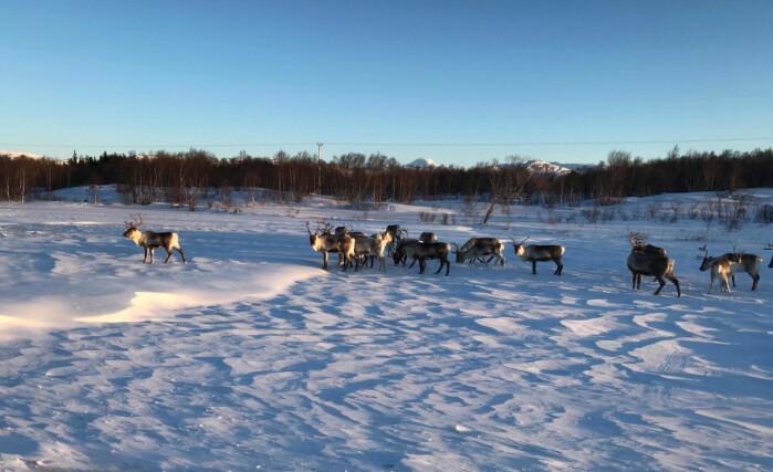 Reinsdyra beiter ute hele året, og på mange måter skiller drifta seg fra alt annet husdyrhold i Norge.