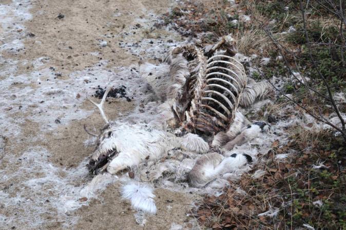 Et dødt dyr ligger ikke lenge i naturen før åtseleterne får ferten av det. I løpet av kort tid kan et kadaver bli reinplukket til beinet og å dokumentere dødsårsak blir umulig.