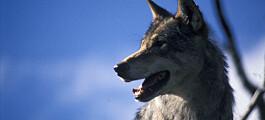 Forskere vil ha bedre tiltak både for ulv og sau