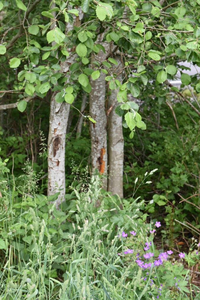 Trær som blir infisert kan gå en sakte død i møte.
