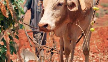 Pløying med okse, Kenya. iStockphoto