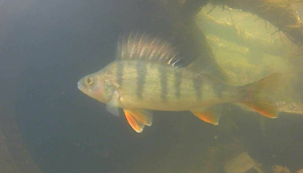 Abbor (Perca fluviatilis) sett med undervannskamera. Skjermdump fra filmen laget av Knut Marius Myrvold og Tobias Holter, som du kan se lenger ned i blogginnlegget.