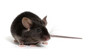Vonde opplevelser gjorde mus mer utsatt for MS