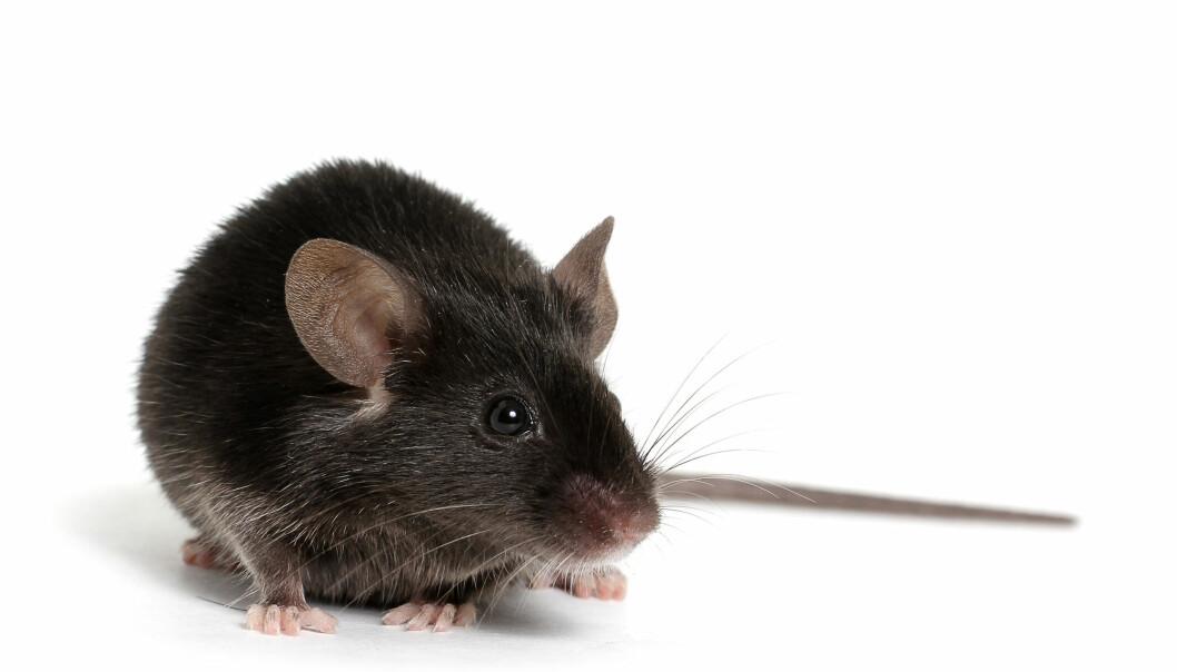 Barndomsopplevelser påvirket kroppen til musene. Dette er trolig grunnen til at de lettere utviklet MS-lignende autoimmun sykdom, tror forskerne.