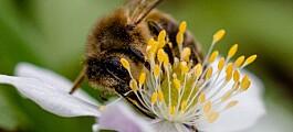 Endringer i jordbruket skaper trøbbel for humler og bier
