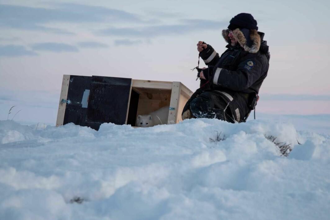 Thomas Johansen i Statens naturoppsyn slipper en av fjellrevvalpene som forhåpentligvis vil spre genene sine på Nordkalotten.