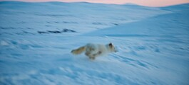 Tolv fjellrevvalper får med matpakke når de slippes fri. Deretter må de klare seg selv
