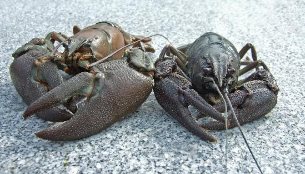 Edelkreps (Astacus astacus) til høyre og Signalkreps (Pacifastacus leniusculus) til venstre. David Strand