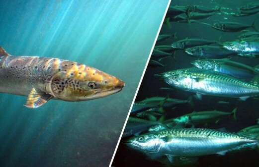 Herring and mackerel were not responsible for salmon decline
