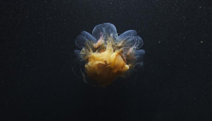 "Stinging jellyfish (<span class=""italic"" data-lab-italic_desktop=""italic"">Cyanea arctica</span>)."